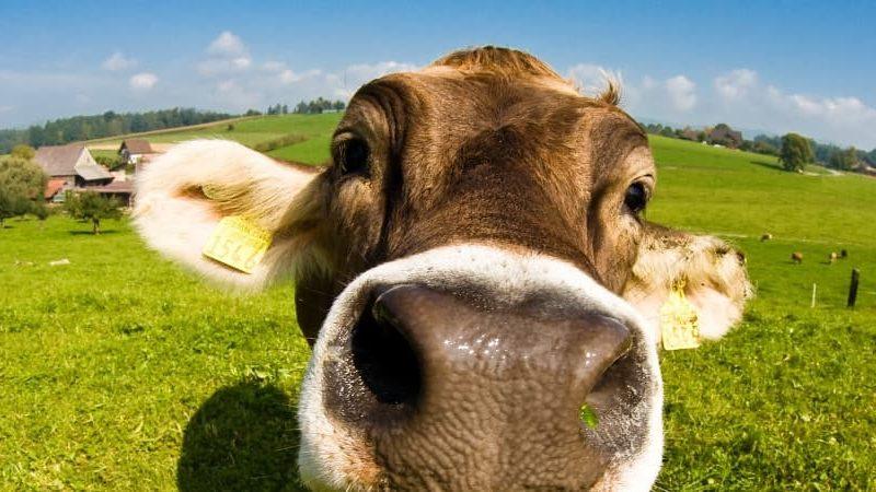 Leniwa krowa - o współlokatorach